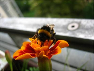 BumblebeeFreePic400