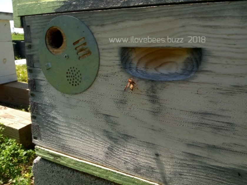 Honeybee Rescue and removal