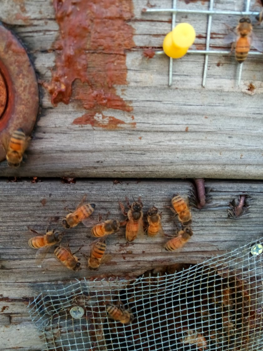 Honeybee rescue and removal PA