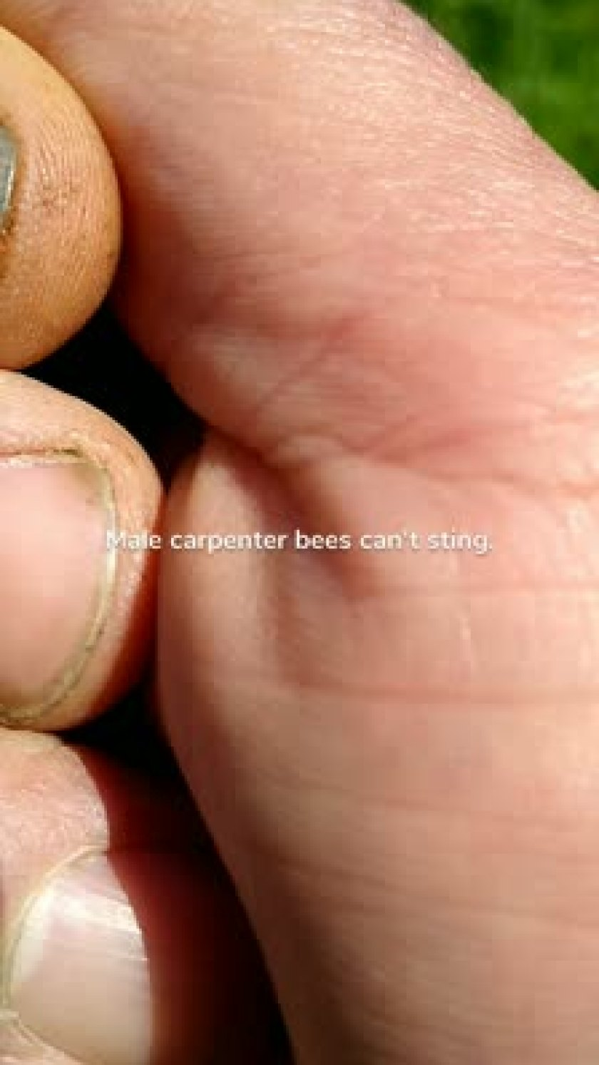 Male carpenter bees can't sting.